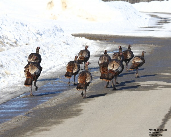 Turkeys practicing for the Thanksgiving Day parade.