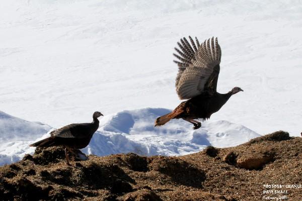 A turkey takes off.