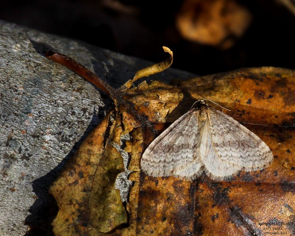 A winter moth at rest.