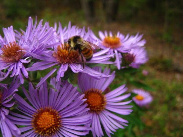 A red-tailed bumble bee works New England asters this fall.