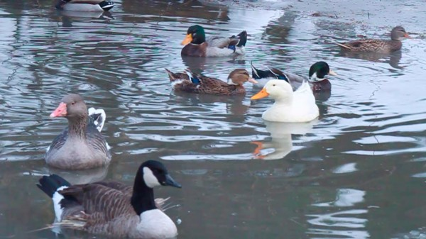 Geese and ducks mingle in their sheltered pond at Stanwood Wildlife Sanctuary, commonly known as Birdsacre, on Nov. 25, 2011, in Ellsworth.