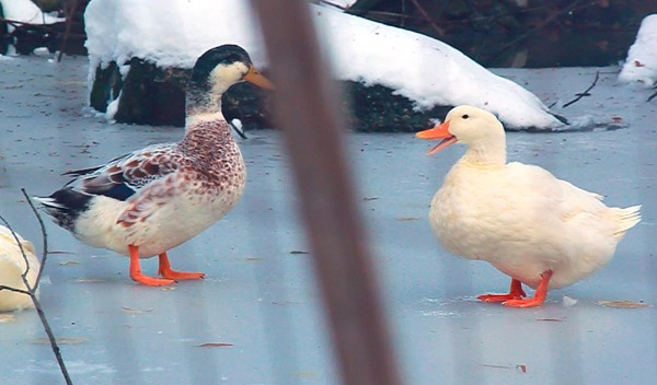 Two ducks pause to chat on an icy pond at Stanwood Wildlife Sanctuary, commonly known as Birdsace, on Nov. 25, 2011, in Ellsworth.