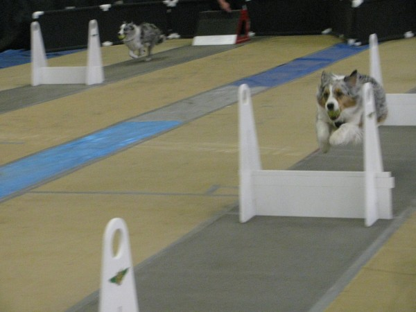 Addie, an Australian shepherd, leaps over a hurdle Saturday during a heat at the Flyball Maineia tournament held at the Boothbay Harbor YMCA fieldhouse. Her owners, Liz and Dave Strauss, came from Needham, Mass., to compete with the Weston Whirlwinds team. &quotIt's addictive,&quot Dave Strauss said of the team relay sport for dogs.