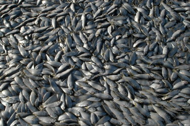 Studies by the Atlantic States Marine Fisheries Commission show menhaden stocks in steep decline.