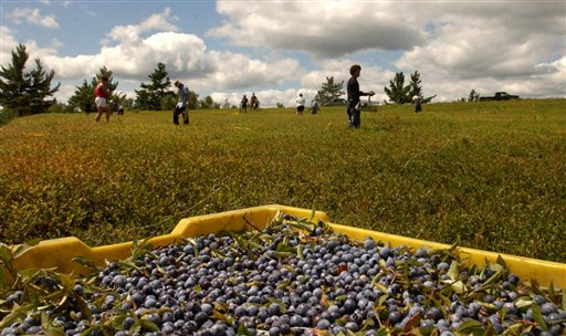 Blueberry rakers work in a field in Centerville Township leased by Tonia Smith of the Passamaquoddy tribe in Pleasant Point in 2006.