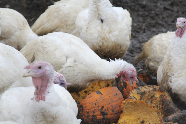 As a treat, farmer John Barnstein leaves his turkeys pumpkins to peck at his Warren farm, Maine-ly Poultry. The turkeys will live for a few more days before being processed for Thanksgiving dinners.