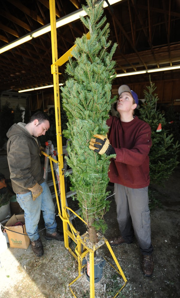 Connor Graham (left) and Kaleb Forsman drill holes in the stump of Christmas trees at Piper Mountain Christmas Trees in Newburgh on Friday, Nov. 22, 2011. Owner Jim Corliss supports a tax on the trees that will help fund future marketing of the natural product.