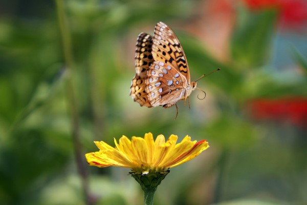 An Aphrodite Fritillary butterfly flies away after drinking nectar from a zinnia flower at the Yarmouth Community Garden in September.