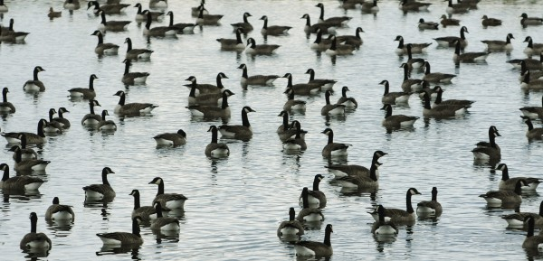 Canada geese float in a pond along Tay Road in Levant on Friday, Oct. 21, 2011.