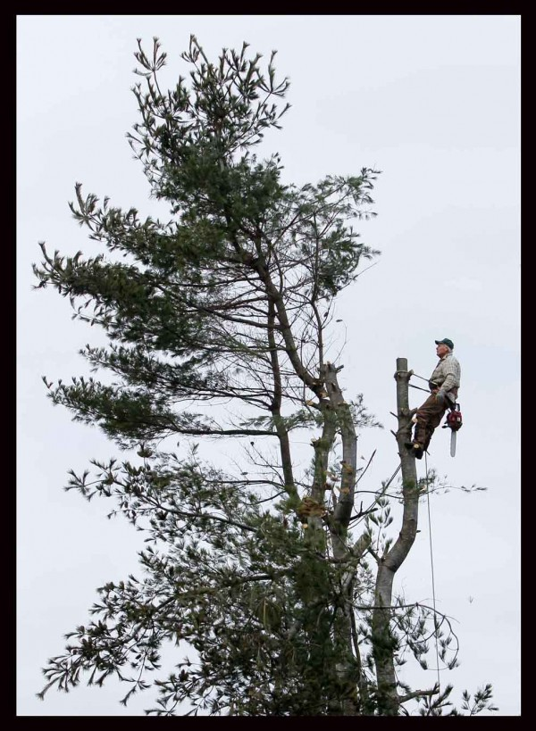 Bob Doyle, 71, leans back as the crown of an 80-foot-tall white pine starts to fall away on Dec. 14, 2011, in Winthrop. &quotWhen you're attached to the tree the last last cut is the most important,&quot said Doyle.