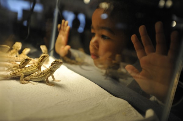 Two-year-old Janiece of Southwest Harbor makes a connection with several bearded dragon lizards while visiting the Northeast Reptile Expo at the Bangor Motor Inn Sunday, Oct. 16, 2011.