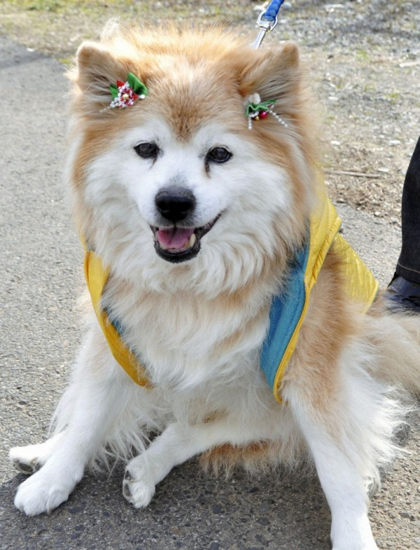 A male cross-breed dog Pusuke, who was listed as the oldest living dog in the Guinness Book of World Records, is seen in Sakura, Tochigi Prefecture, north of Tokyo, on Dec. 24, 2010, in this photo released by Kyodo on December 6, 2011. Pusuke died on Dec. 5, 2011, at the age of 26 years and 8 months.