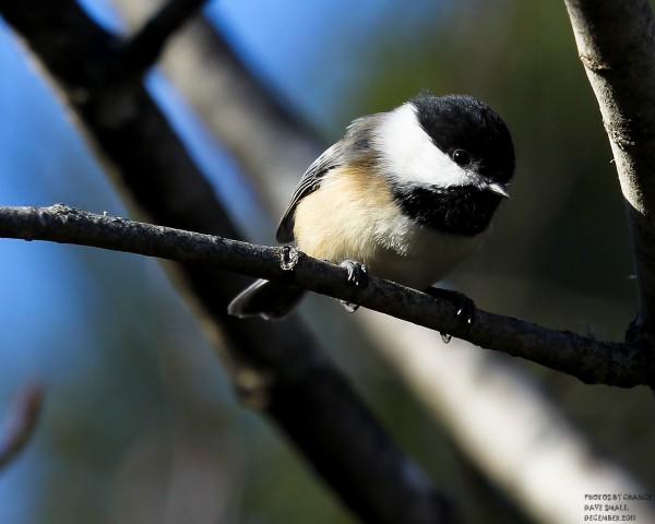 A curious black-capped chickadee.