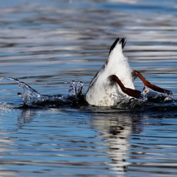 Bottoms up! A black guillemot does some sub-surface surveying.