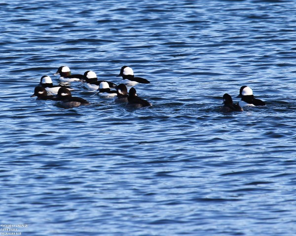 Plenty of buffleheads bob on the water.