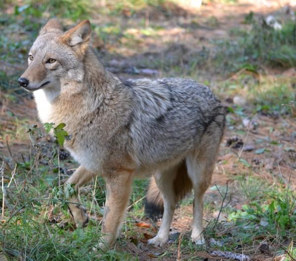 maine coyote