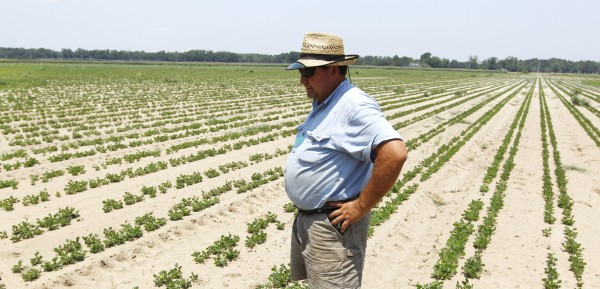 Peanut and corn farmer Donald Chase looks over rows of peanuts on a farm in Oglethorpe, Ga., in June 2011.