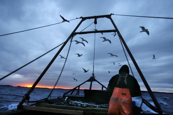 Gulls seeking scraps follow a fishing boat where sternman Josh Gatto shucks scallops on the trip back to shore off Harpswell on Saturday, Dec. 17, 2011. Scallop fishing in Maine can only take place between sunrise and sunset.