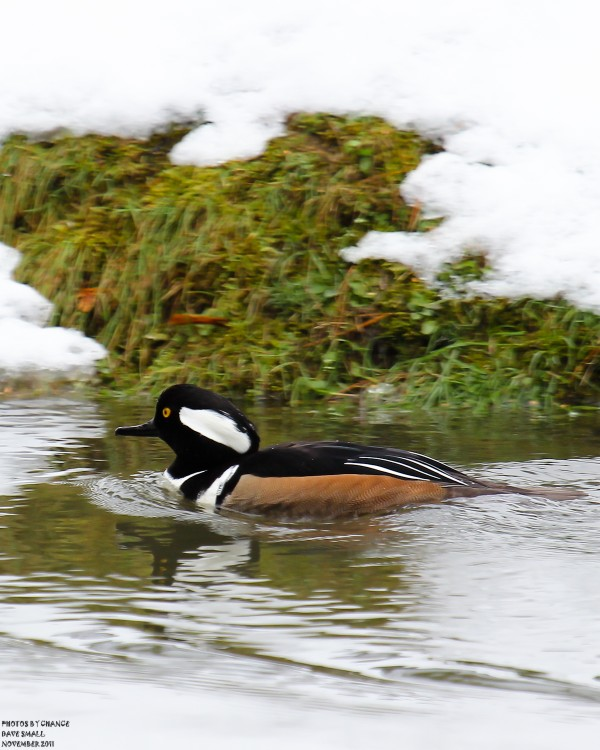 A male hooded merganser swims near the snow-dappled shore.