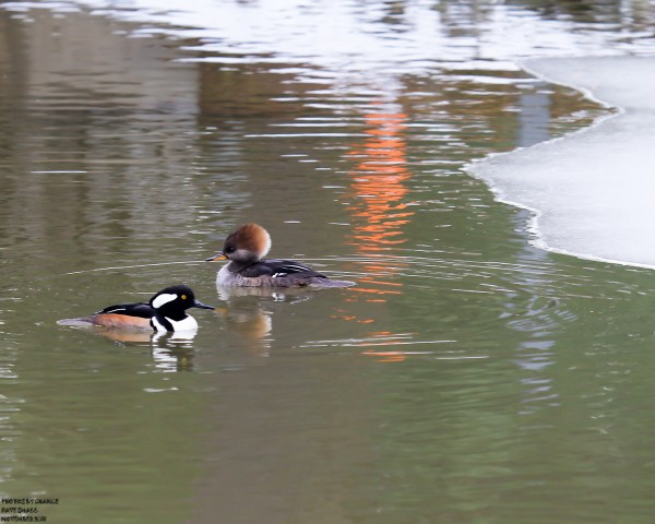 Hooded mergansers in an icy pond.