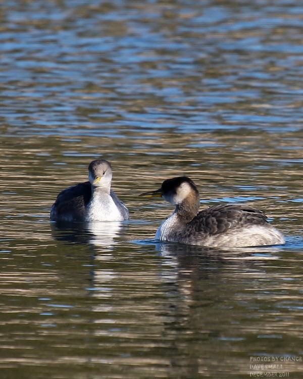 A pair of horned grebes.