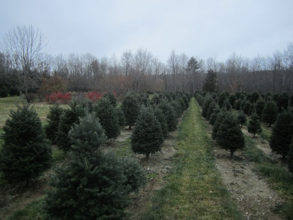 A field of Christmas trees at Nutkin Knoll farm in Newburgh.