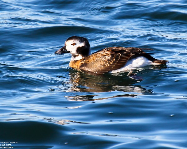 Another long-tailed duck swims within camera range.