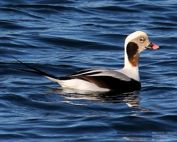 A distinctive long-tailed duck makes an appearance.