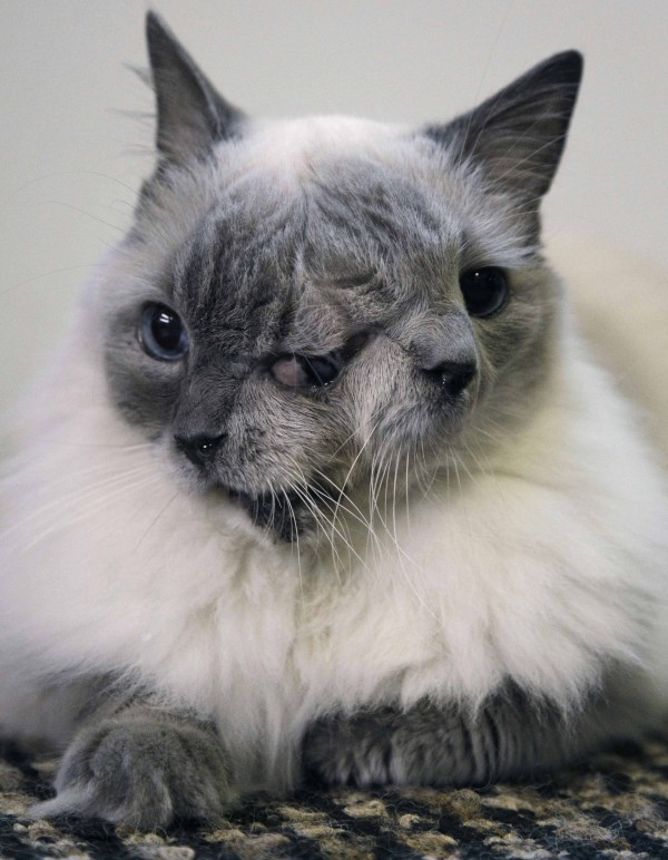 In this Sept. 28, 2011 file photo, a cat with two faces, named Frank and Louie, sits on a mat in his home in Worcester, Mass. The animal is known as a Janus cat, named for the figure in Roman mythology with two faces on one head. The owner calls the face on the left Frank, while the face on the right she identifies as Louie. The cat set a Guinness record by surviving for 12 years in Massachusetts.