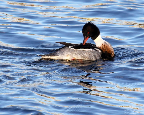 A red-breasted merganser.