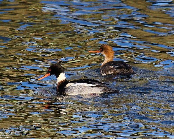 Two red-breasted mergansers swim together.