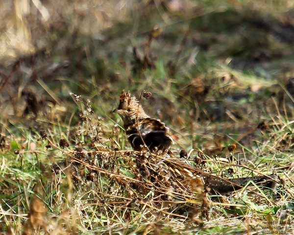 One of 23 ruffed grouse spotted during a trip near the Stud Mill Road.