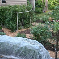 This photo shows some of the raised beds in Marjorie's Garden this past early summer, including beds growing raspberries, trellised cucumbers, potatoes (covered with a row cover to exclude potato beetles), and highbush blueberries. The walkways had just been mulched with wood chips.