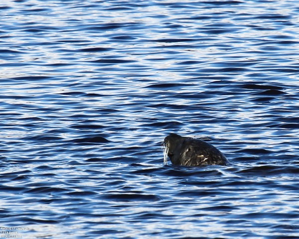 A seal making its way up the Kennebec River from under the bridge.