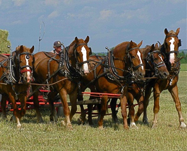 Terry Gregg and five of the six workhorses he uses for haying.