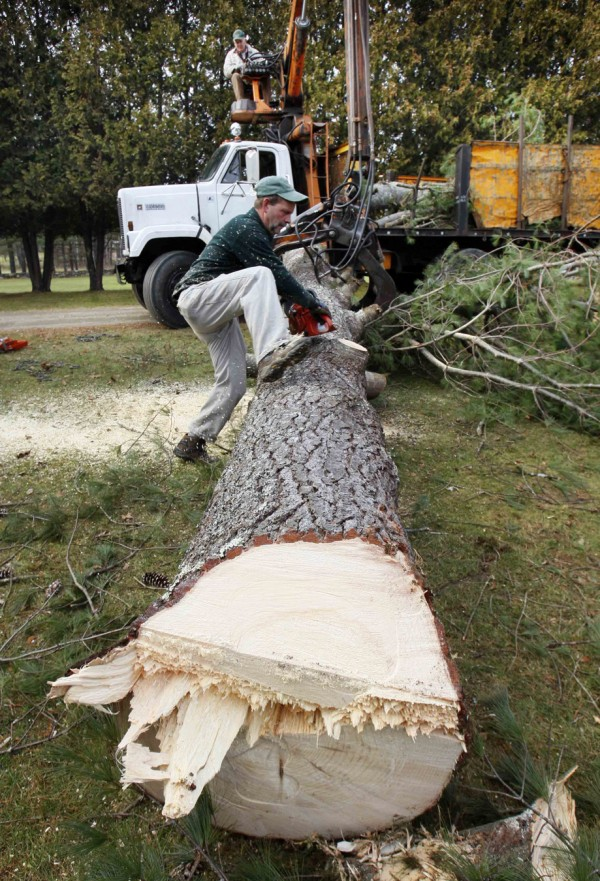 Sheridan Doyle climbs over the trunk of a large white pine he and his father recently removed from a front yard in Winthrop. Sheridan, 48, stays on the ground when he works with his father. &quotI was recently promoted to branch manager,&quot he joked.