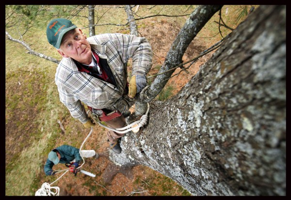 Bob Doyle, 71, pauses to study his climbing route on an 80-foot-tall white pine he was hired to remove in Winthrop on Dec. 14. On the ground below, his son Sheridan Doyle ties a line to a chain saw that his father will hoist up once in position.