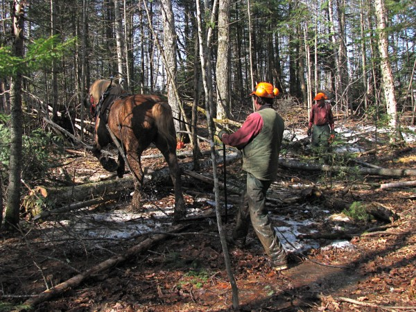 Pat, the horse, and Matt and Terry Gregg continue working through early spring as long as the ground is still solid. Logging with horses is economical, according to the Greggs, and it is far less damaging to the forest. The Greggs estimate that harvesting fire wood with a horse will save them $28,000 in fuel this winter.