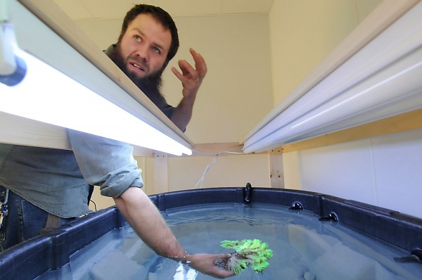 Christian Carlson, a  technician at Unity College, shows a piece of Indiopacific bioluminescent green sinularia coral that he is cultivating in one of his saltwater holding tanks at the college on Saturday, Dec. 3, 2011.