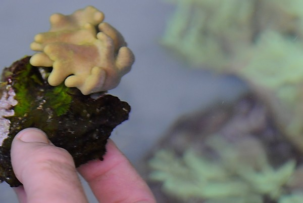 Christian Carlson, a technician at Unity College with a longtime fascination with corals, holds a piece of sarcophyton, a soft coral that he is cultivating in one of his saltwater holding tanks at the college on Saturday, Dec. 3, 2011.