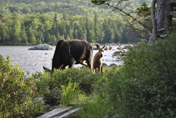 This cow moose and her spring calf at Sandy Stream Pond in Baxter State Park was a high point of the hiking year for me.