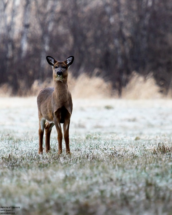 A white tailed doe.