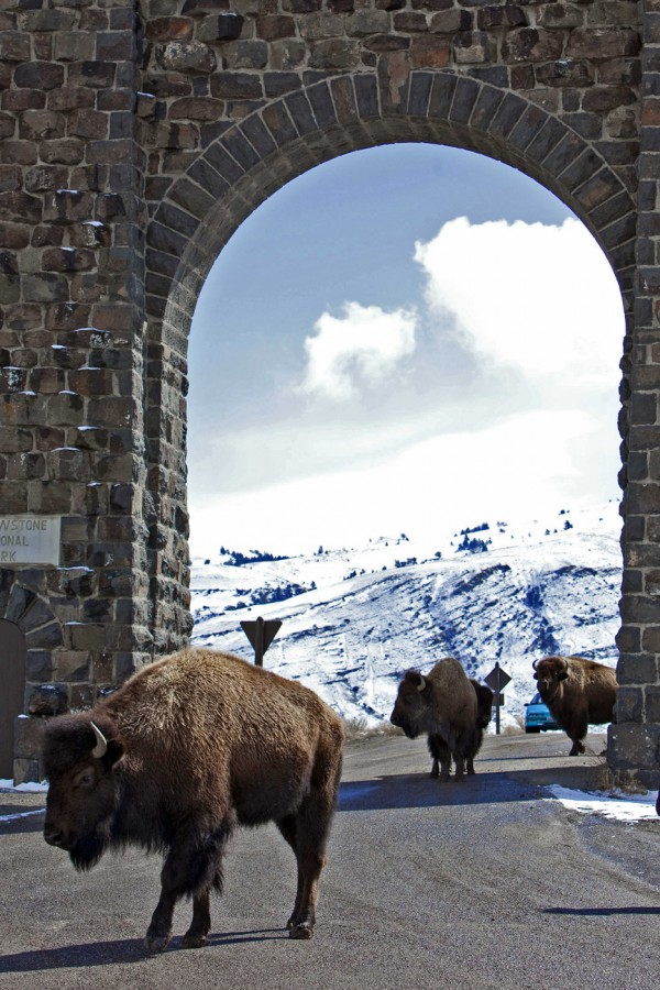 This March 17, 2011, file photo shows bison roaming outside the gate of Yellowstone National Park in Gardiner, Mont.