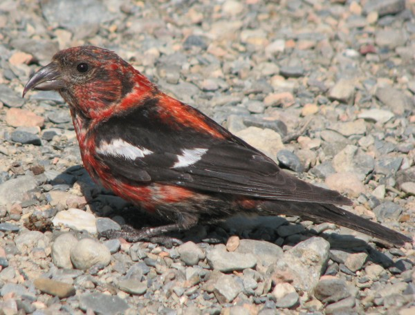 White-winged crossbills are highly irruptive, wandering south into Maine even in summer, where they may nest in a good cone year.