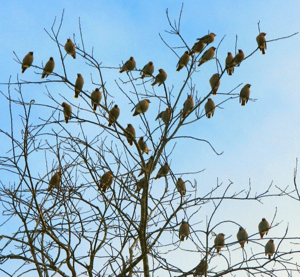 Bohemian waxwings perch in a tree.