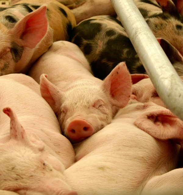 A study of Canadian pigs found bacteria in the animals remained resistant to antibiotics long after farmers stopped dosing them. Scientists are researching the implications for hospitals and the human food supply.