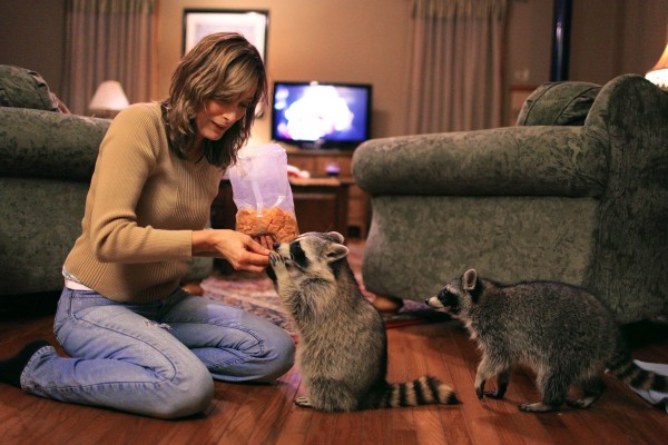 In this Nov. 29, 2011 photo, Robin Swift feeds Cheez-It crackers to Loverboy (left) and Blackie, a pair of orphaned raccoons that have become regular visitors at the Swift home this year in Tonica, Ill. Robin and her husband Randy offered the young raccoons some food and care this summer and the pair continues to show up at their home most nights.