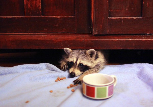 Loverboy, one of a pair of orphaned raccoons that have become regular visitors at the home of Robin and Randy Swift this year in Tonica, Ill., peeks out from below one of the Swift's cabinets Nov. 29, 2011. The Swifts offered the young raccoons some food and care this summer and the pair continues to show up at their home most nights.