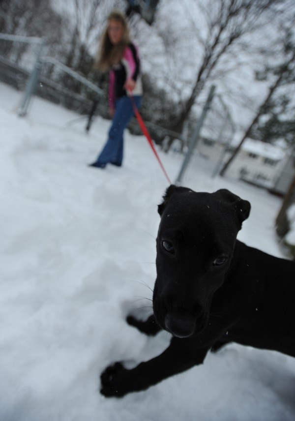 Anne Marie Messer tries to coax her newly adopted black lab, Bella, outside into the snow to pee at her Bangor home on Wednesday, Nov. 23, 2011. Messer adopted her dog from a shelter in Georgia. Bella had not seen snow before.