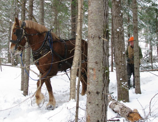 Matt Gregg with his 10-year-old workhorse, Pat, twitching out a log in winter in the forest of Maple Meadow Farm in Mapleton. The Greggs harvest fifty cords of firewood each year using Pat as a skidder. They estimate it will save them $28,000 in fuel oil this winter.